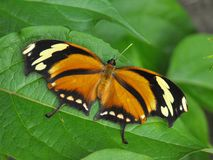 Бабочка Leafwing тигра в покое Стоковое фото RF