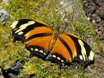 Бабочка Leafwing тигра Стоковые Фото