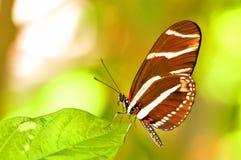 Бабочка Longwing зебры на лист Стоковое Фото
