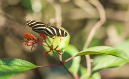 Бабочка Longwing зебры подавая от цветков Стоковые Изображения RF