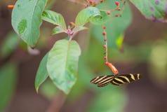 Бабочка Longwing зебры подавая от цветков Стоковая Фотография