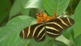 Бабочка Longwing зебры приземляется на цветок и распространяется крыла пока подающ, 4K акции видеоматериалы