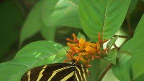Бабочка Longwing зебры с сломленным крылом приземляется на цветок для того чтобы подать, 4K видеоматериал