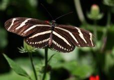 Бабочка Longwing зебры Стоковые Изображения RF