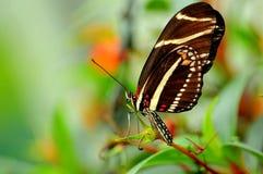 Бабочка Longwing зебры (charithonia Heliconius) Стоковые Изображения