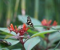 Бабочка Longwing зебры, Heliconius Charithonia Стоковые Фото