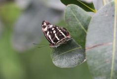 Бабочка Longwing зебры, Heliconius Charithonia Стоковое Изображение RF