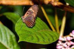 Бабочка Longwing тигра на зеленых лист Стоковая Фотография RF