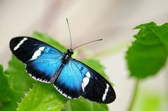 бабочка longwing sara малый стоковые изображения