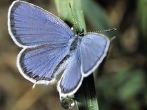 Бабочка Lycaedes на листьях e Стоковое Изображение