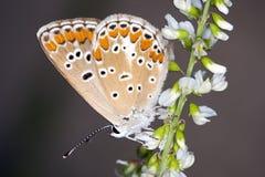 Бабочка Lycaeides отдыхая на цветке Стоковое Фото
