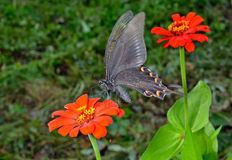 Бабочка (maackii Papilio) 11 Стоковое Изображение RF