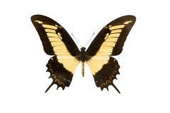 Бабочка Machaon изолированная на белизне стоковое изображение