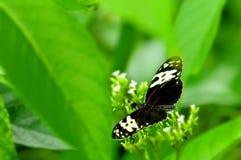Бабочка Mechanitis на белых цветках (верхняя сторона) Стоковые Фото