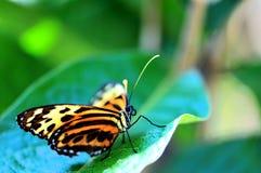 Бабочка Mechanitis на зеленых лист Стоковое Изображение RF