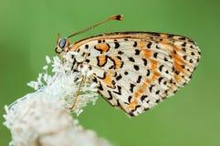 Бабочка Melitaea Didyma Стоковое фото RF