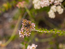 Бабочка MetalMark Behr на парке глуши побережья Laguna, пляже Laguna, Калифорнии Стоковое Фото
