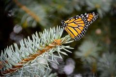 Бабочка Monarc Стоковые Изображения