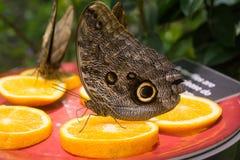 бабочка Morpho Закрыт-крыла голубая Стоковое фото RF