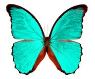 Бабочка Morpho изолированное на белой предпосылке Стоковое фото RF