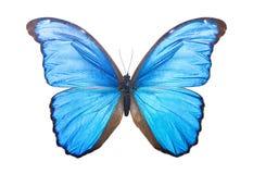 Бабочка Morpho Didius Стоковые Изображения RF