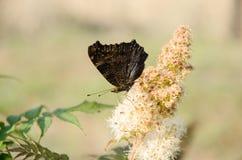 Бабочка Nixie стоковое фото rf