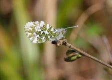 Бабочка Orangetip Стоковые Фотографии RF