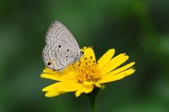 Бабочка (pandava Chilades) Стоковое фото RF