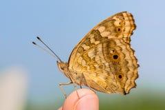 Бабочка Pansy лимона Стоковые Изображения