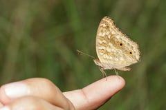 Бабочка Pansy лимона Стоковая Фотография RF