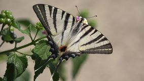 Бабочка Papilio на цветке, деталь Swallowtail макроса видеоматериал