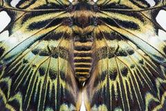 Бабочка Parthenos sylvia клипера стоковые изображения