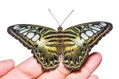 Бабочка Parthenos sylvia клипера стоковое изображение rf