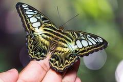 Бабочка Parthenos sylvia клипера стоковая фотография rf