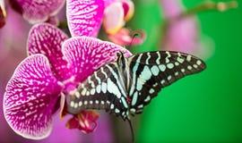 Бабочка Parthenos sylvia на красивом розовом цветке орхидеи стоковые фотографии rf
