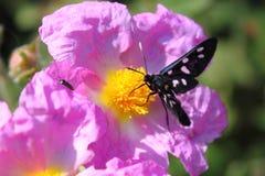 Бабочка phegea Amata стоковая фотография rf