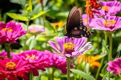 Бабочка Pipevine Swallowtail на розовом цветке Стоковая Фотография RF