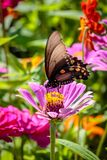 Бабочка Pipevine Swallowtail на розовом цветке Стоковые Изображения