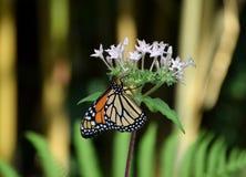Бабочка plexippus Даная с апельсином и чернотой сделала по образцу крыла, на белом цветке Стоковые Фото