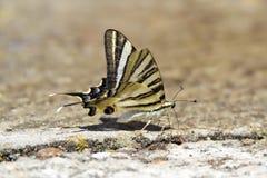 Бабочка Podalirio садить на насест на поле Стоковая Фотография RF