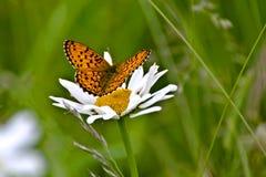 Бабочка Redhead на белом стоцвете Стоковая Фотография
