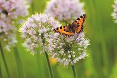 Бабочка Redhead на больших круглых пурпуровых цветках Стоковые Фото