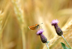 Бабочка Rhopalocera на цветя проползая thistle, arvense Cirsium Стоковое Фото