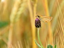 Бабочка Rhopalocera на шарике проползая thistle, arvense Cirsium Стоковые Фото