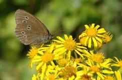 Бабочка Ringlet на цветке ragwort Стоковая Фотография RF