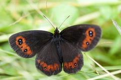 Бабочка ringlet полесья Стоковые Фотографии RF