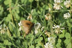 Бабочка Ringlet сидит на цветке белого клевера стоковые изображения rf