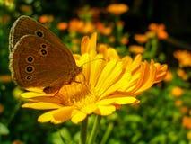 Бабочка Ringlet сидя на цветке ноготк стоковая фотография