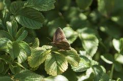Бабочка Ringlet стоковая фотография