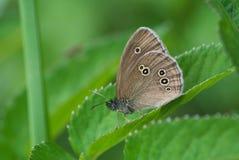 Бабочка Ringlet Стоковые Фотографии RF